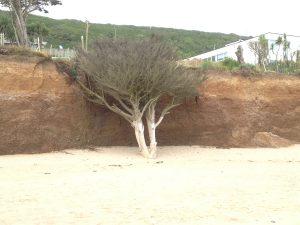 Doppelbaum am Praa Sands Beach Cornwall