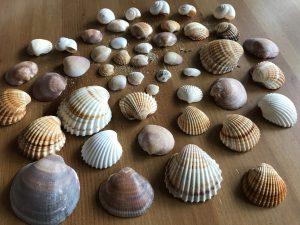Muscheln vom Kyllini Strand - Peloponnes