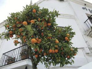 Prächtiger Orangenbaum